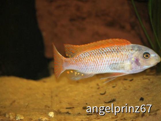 Labeotropheus trewavasae Thumbi West O-Morphe male 15cm