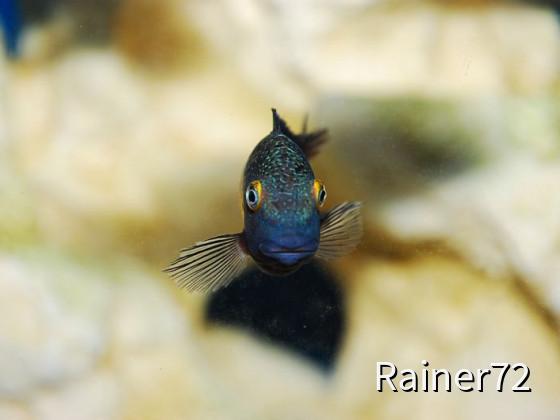 Tropheus Kasakalawe
