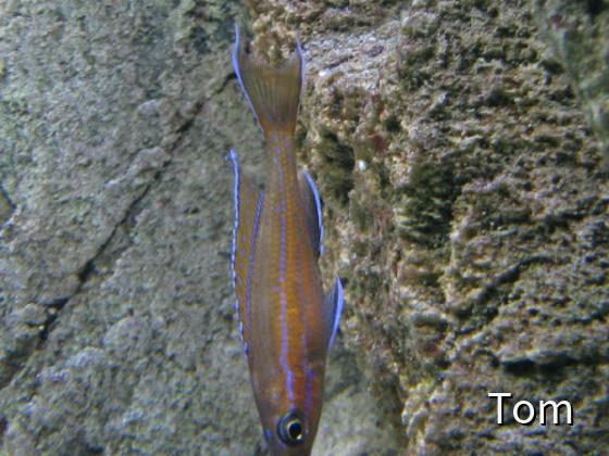 """Paracyprichromis nigripinnis """" Blue Neon """""""