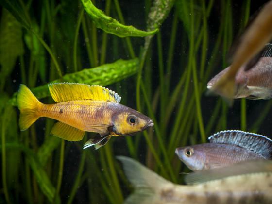 Cyprichromis leptosoma kitumba