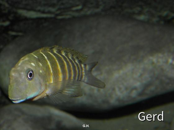 "Eretmodus cyanostictus ""Kigoma Orange"""