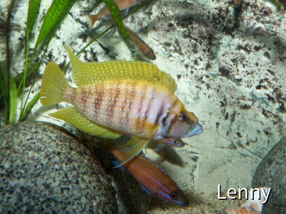 Altolamprologus calvus yellow