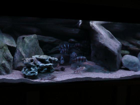 Frontosa Aquarium