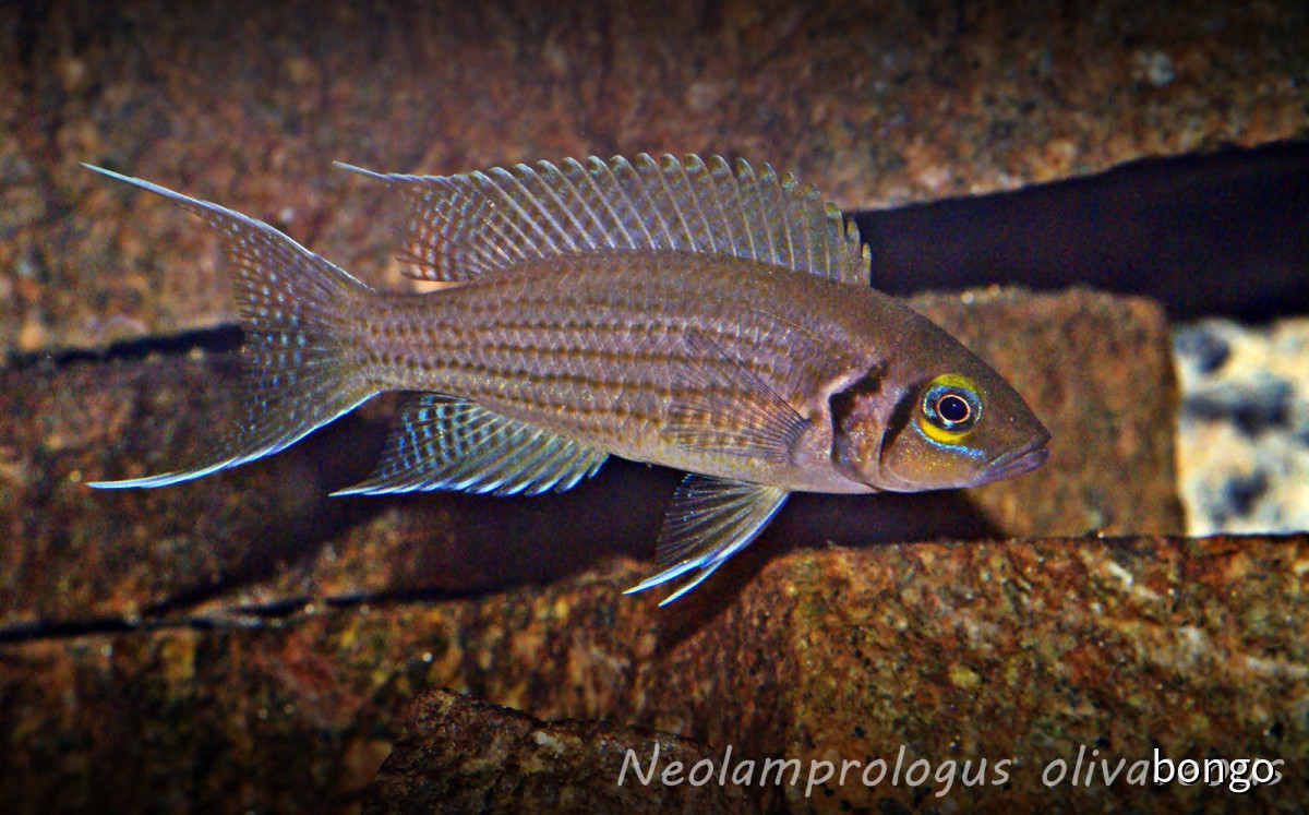 Neolamprologus olivaceous