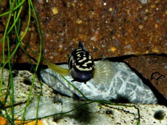 Julidochromis transcriptus Kissi Bemba