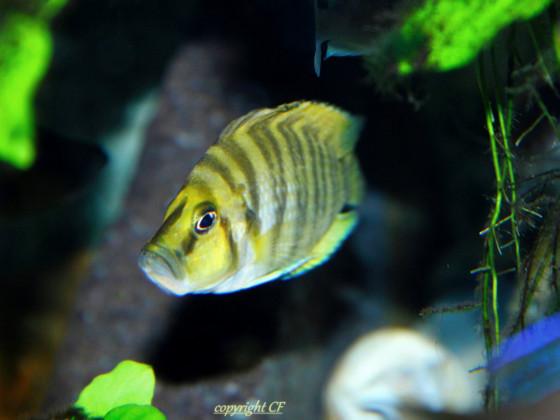 Altolamprologus Compressiceps Chaitika Gold WF