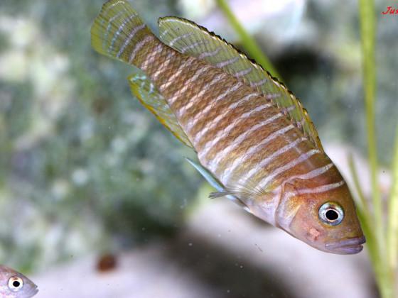 Neolamprologus similis