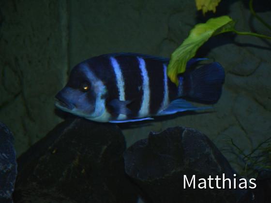 C. g. blue zaire moba