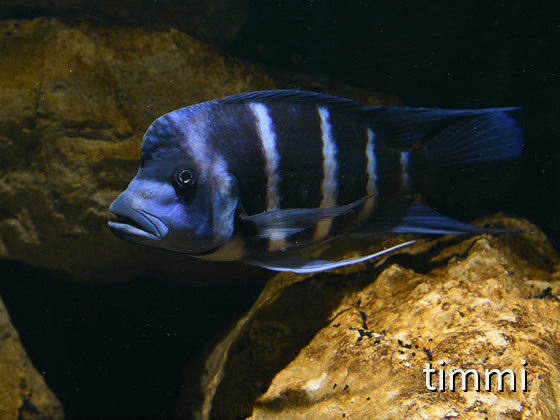 Frontosa Blue Zaire