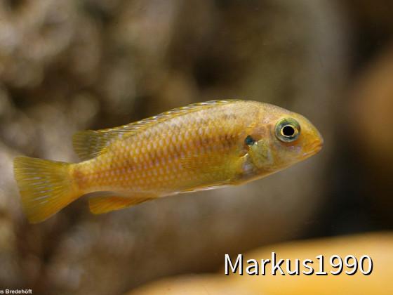 "Tropheops sp. ""red cheek"" likoma"