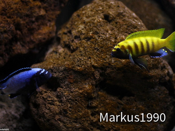 "Links: Metriaclima koningsi (ehemals sp. membe deep), rechts: Metriaclima sp. ""zebra gold"" kawanga"
