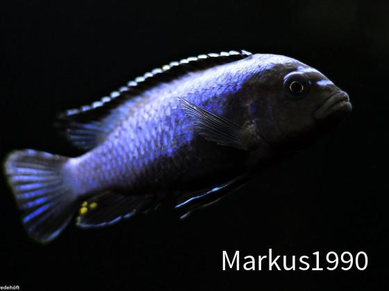 "Metriaclima koningsi ""likoma"" (ehemals sp. ""membe deep"")"