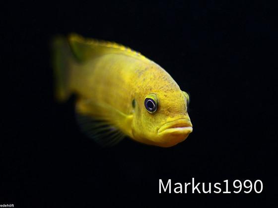 "Metriaclima koningsi ""likoma"" (ehemals sp. ""membe deep"") Weibchen"