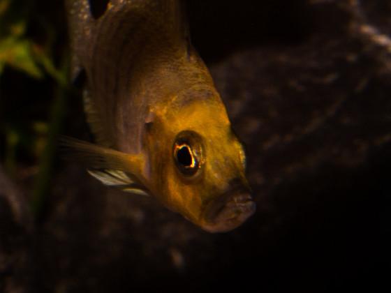 "Altolamprologus compressiceps ""gold head kasanga"""