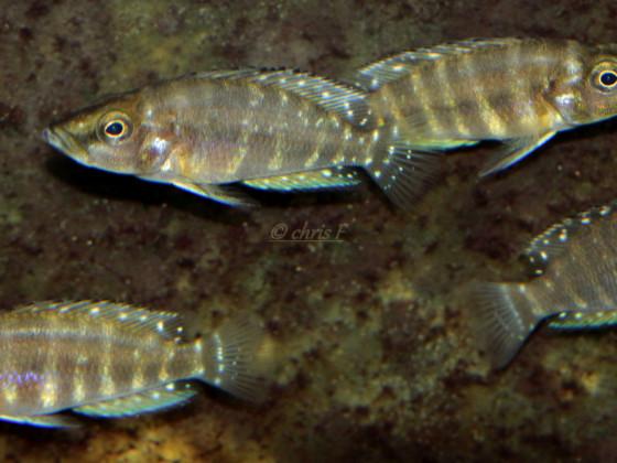 Altolamprologus Calvus Yellow F1