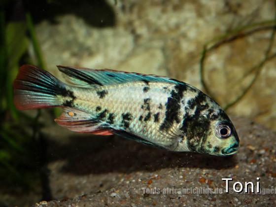 "Paralabidochromis chilotes ""Zue"""