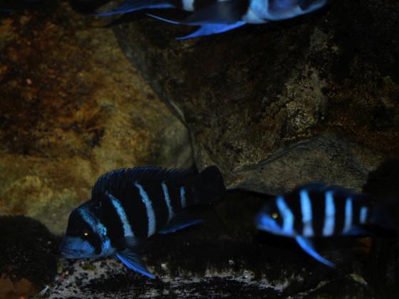 """Blue Zaire"" Kapampa"