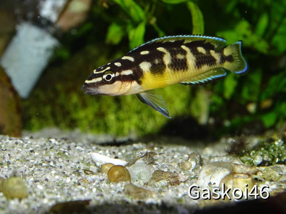 Julidochromis transcriptus