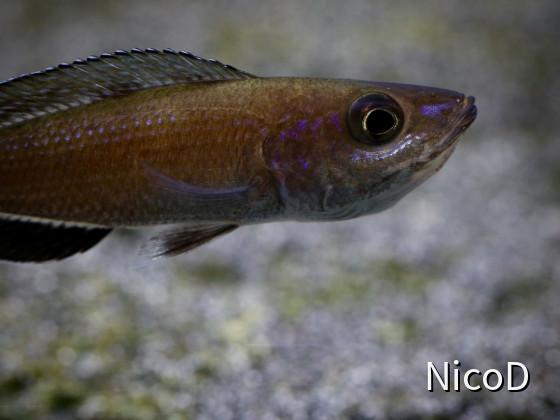 Cyprichromis leptosoma speckleback Moba (F1) - Weibchen mit Jungfischen im Maul