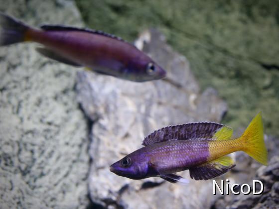 Cyprichromis leptosoma speckleback Moba (F1) - Show