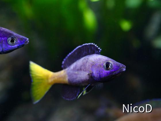Cyprichromis leptosoma speckleback Moba (F1) - Dominanzwechsel