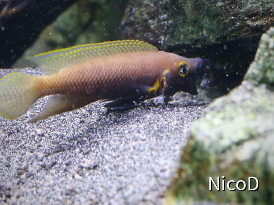 Neolamprologus nigriventris (F1) - Ehestreit nach dem Wasserwechsel