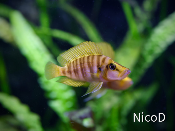 Altolamprologus compressiceps Mandarin Kilima (F1) female infant of the male