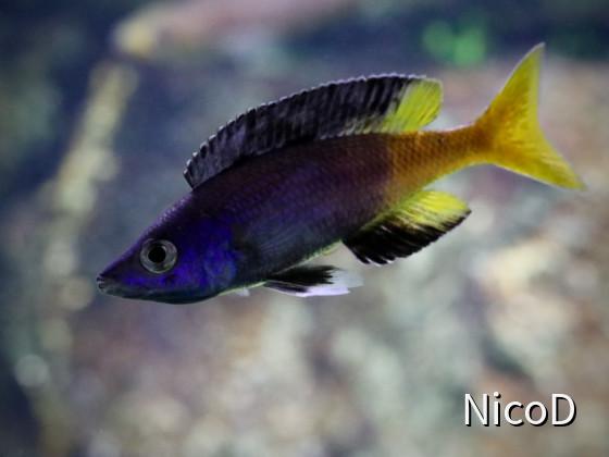CYPRICHROMIS LEPTOSOMA SPECKLEBACK MOBA (F1) - dominantes Männchen