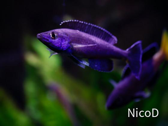 Cyprichromis leptosoma speckleback Moba (F1) - Back again...