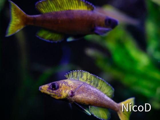 Cyprichromis leptosoma speckleback Moba (F1) - Yellow/blue one