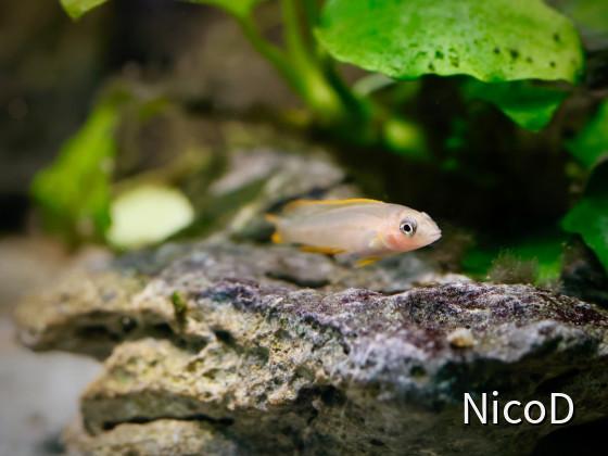 Neolamprologus nigriventris (F2) -  Jungfisch ca. 8 Wochen alt und 20-22 mm groß