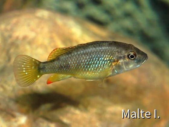 Lufubuchromis relictus Weibchen
