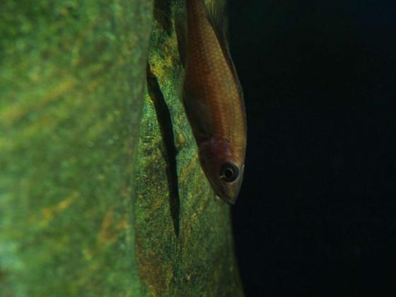 Paracyprichromis nigripinnis Laichen