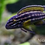 Julidochromis regani Chisanse (F0)