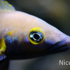 Neolamprologus nigriventris (F1) - Nahaufnahme vom Männchen