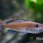 CYPRICHROMIS LEPTOSOMA SPECKLEBACK MOBA (F1) - trächtiges Weibchen