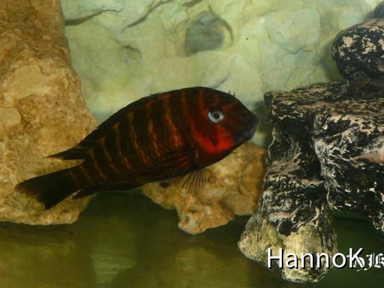 Tropheus Mpimbwe red cheek