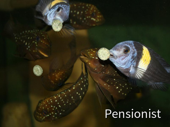 Petrochromis + Tropheus Duboisi Maswa