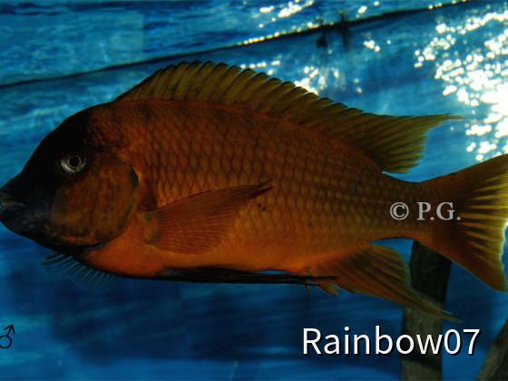 Petrochromis spec.Red Bulu Point