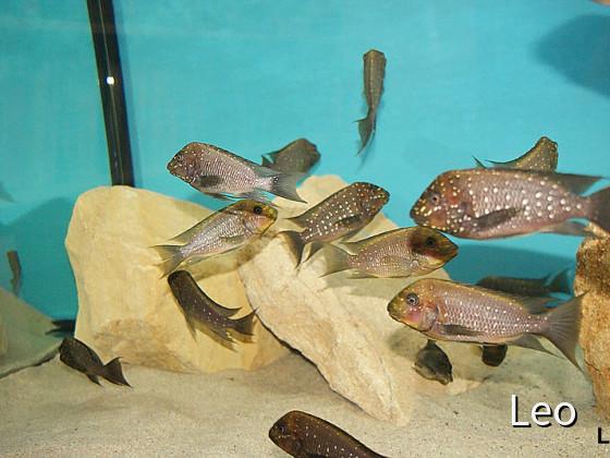 WF Petrochromis Trewavasae