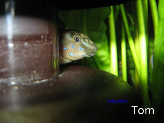 "Eretmodus cyanostictus ""ikola"""