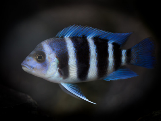 Cyphotilapia Gibberosa Blue Zaire
