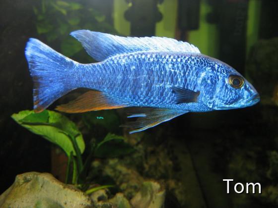 Azurcichlide - Sciaenochromis ahli