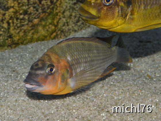 Petrochromis Red bulu point