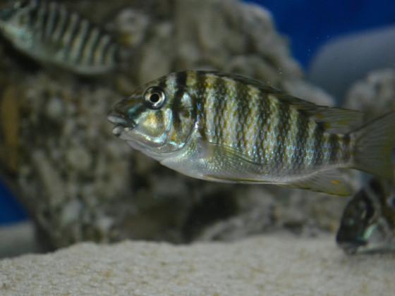 Petrochromis Kasumbe Halembe