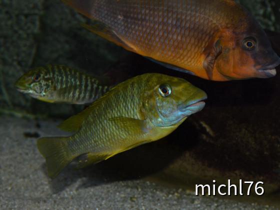 Petrochromis .....