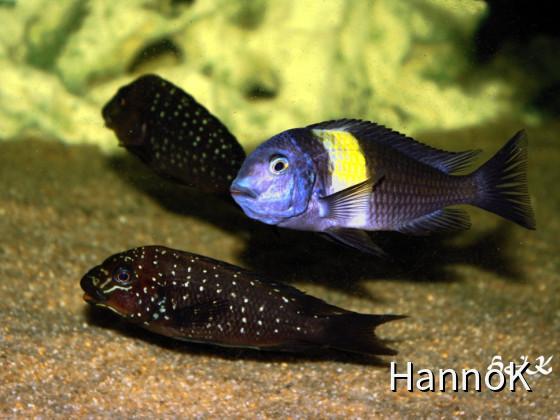 Petrochromis und die Mitbewohner