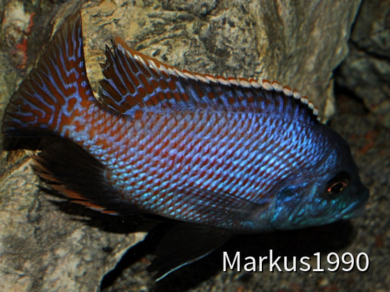 "Placidochromis milomo ""Mbenji"""