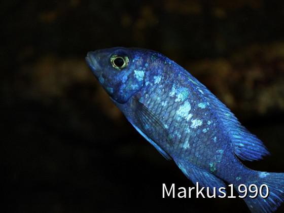 "Placidochromis sp. ""phenochilus Tanzania"" Lupingu"