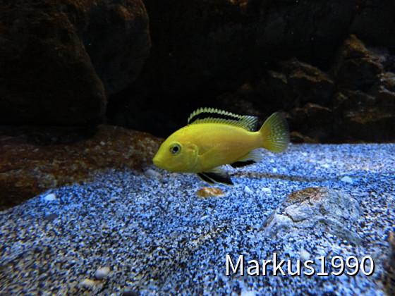 "Labidochromis caeruleus ""Kakusa"""